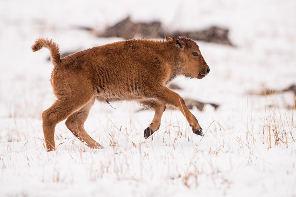 01-Bison Calf on Snow