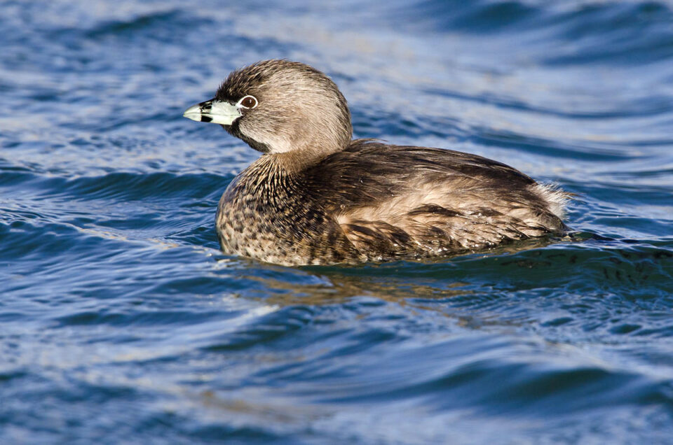03-Pied-billed Grebe