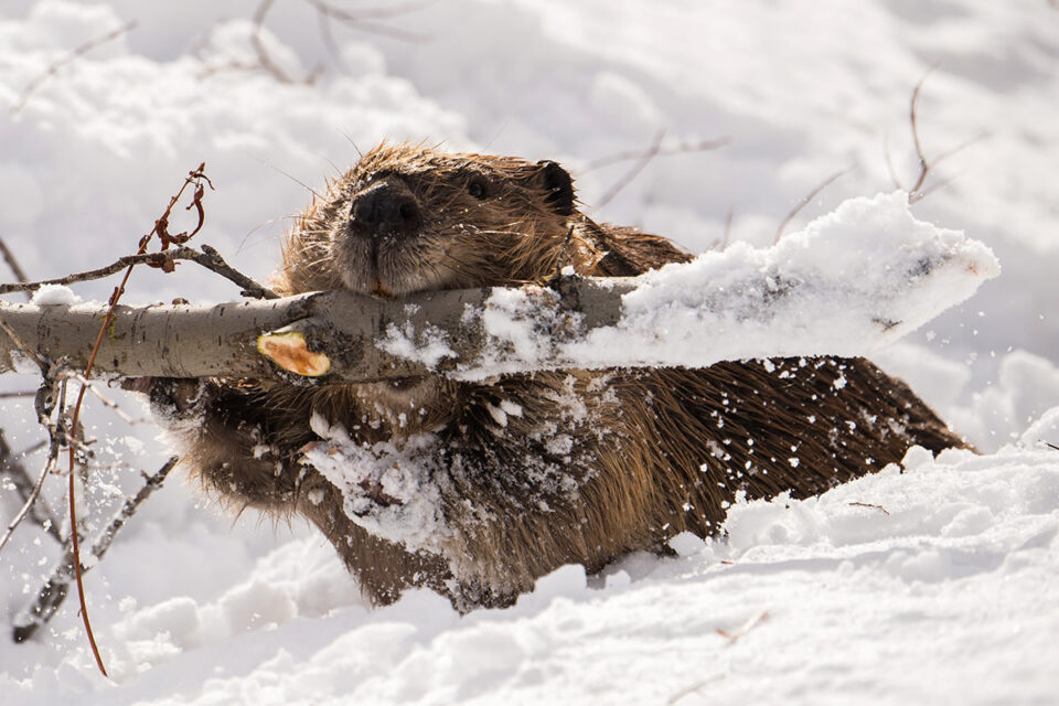 05-Beaver with Branch