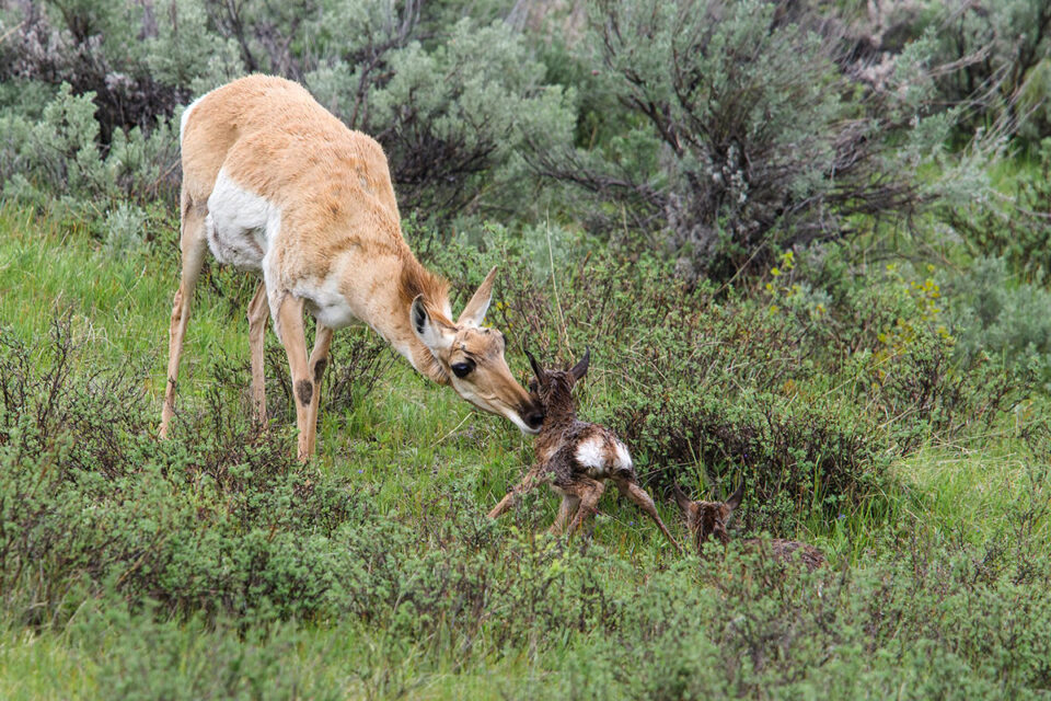 Pronghorn twins born in Yellowstone National Park
