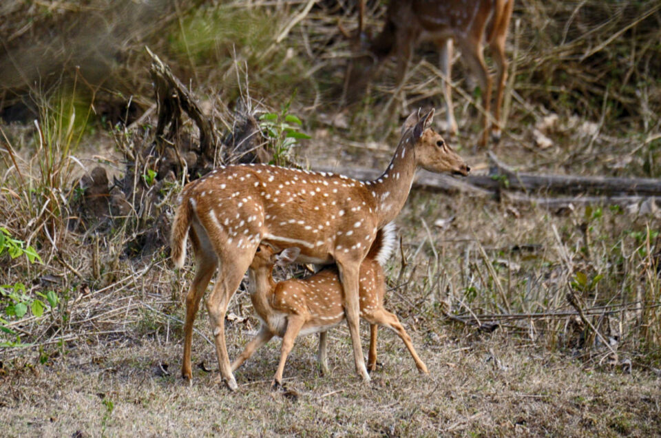 Cheetal Indian Spotted Deer