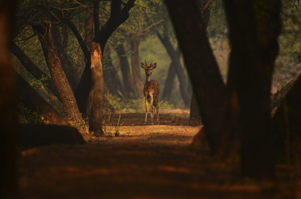 Cheetal or Indian Spotted Deer