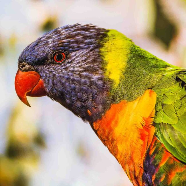 Lorikeet in South Australia
