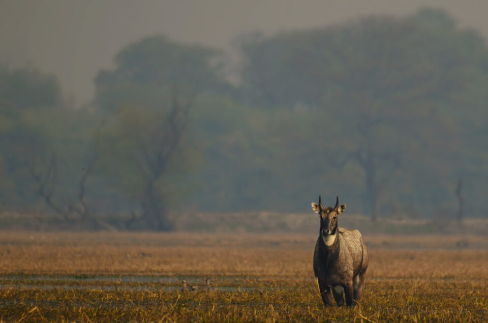 Male Nilgai