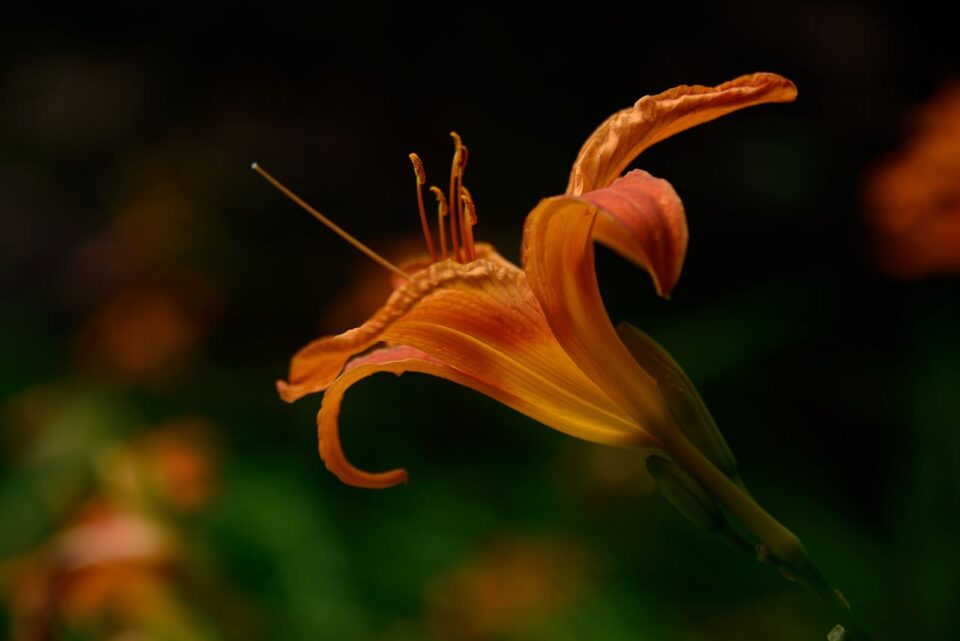 Orange Flower with Black Background