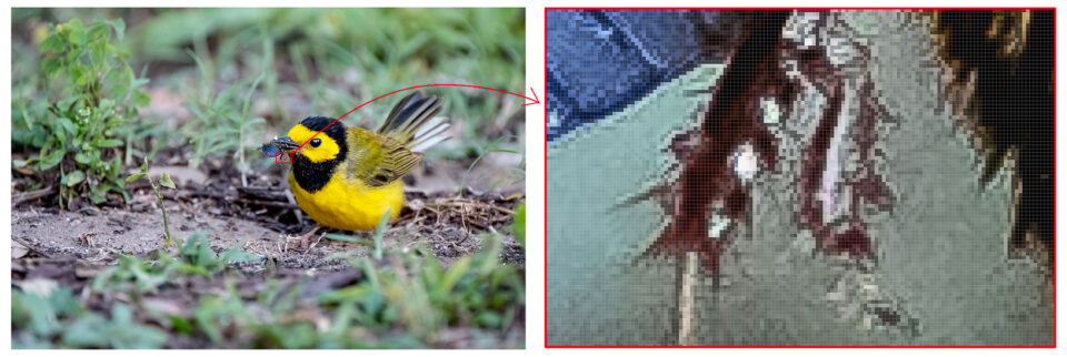 This image of Hooded Warbler is enlarged at 1600% in Photoshop to show pixel-level detail.