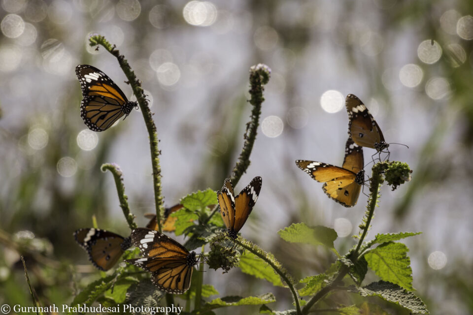 Plain and striped tiger butterflies