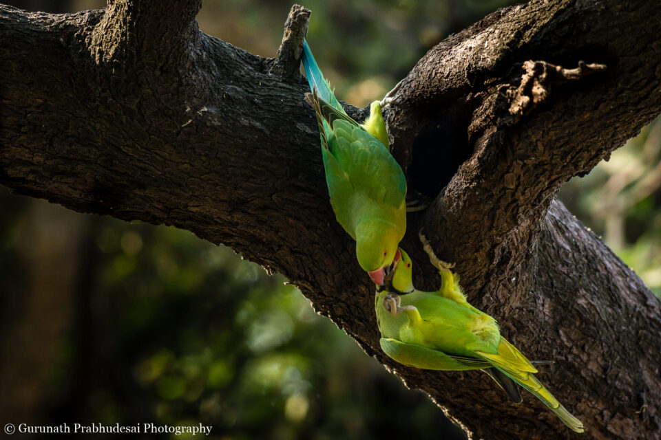 Rose ringed parakeet pair