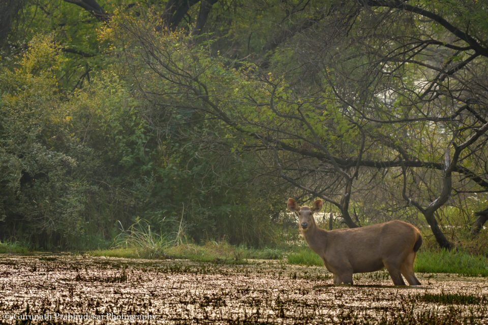 Sambar deer female