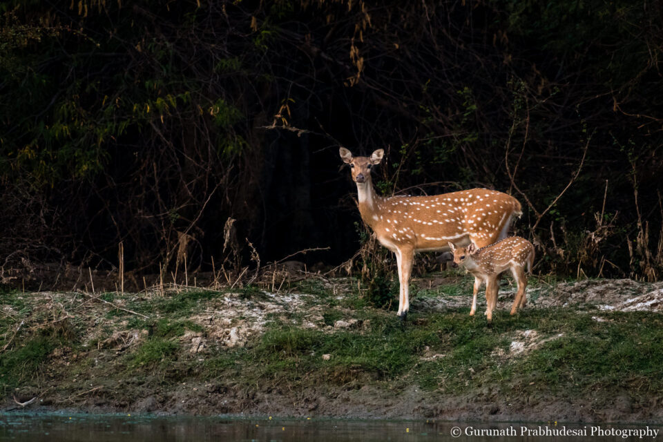 Spotted deer fawn with mother