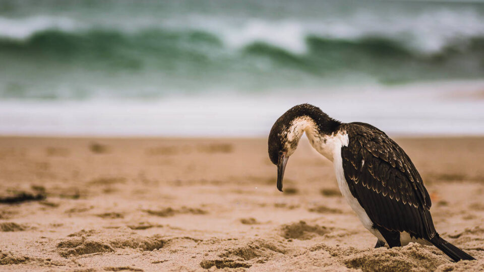 Wildlife on the Beach in South Australia