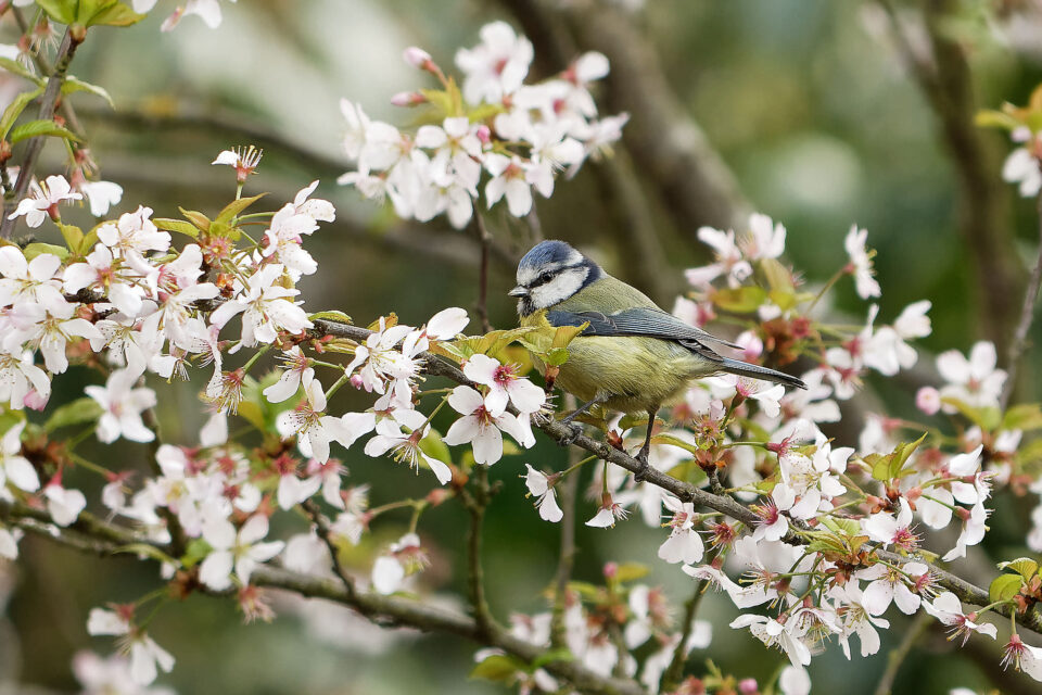 Blue Tit - London