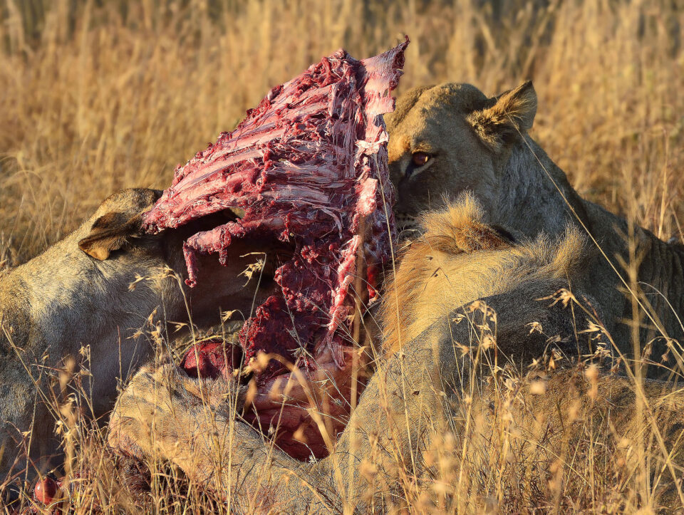 Lions Dining on Ribs - Phinda