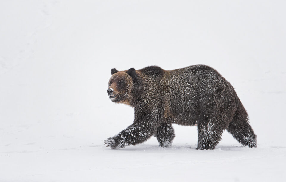 Grizzly Bear in Snow, Yellowstone National Park
