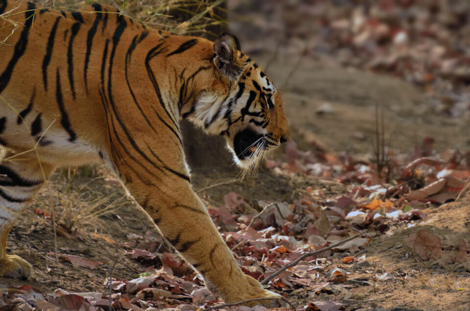 This tiger photograph shows one of the benefits of DSLRs: good autofocus tracking capabilities.
