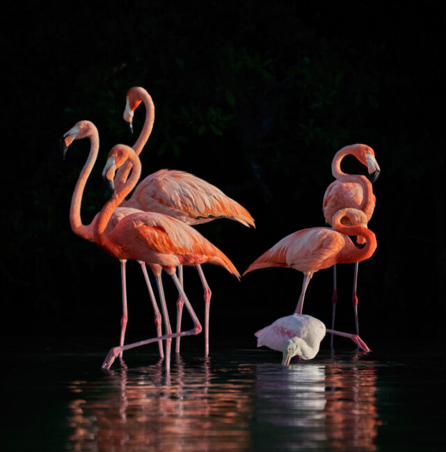 Flamingos and Spoonbill