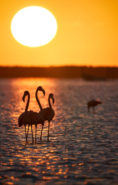 American Flamingo at Sunrise, Mexico