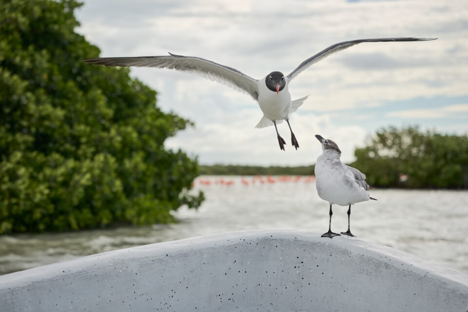 Laughing Gulls, Mexico