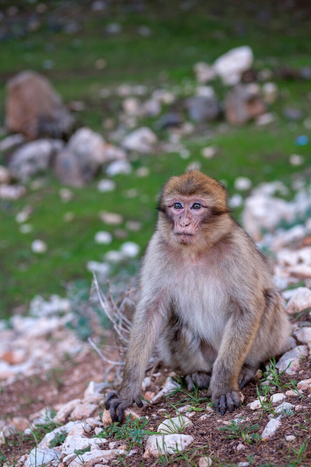 Wild Monkey in Morocco