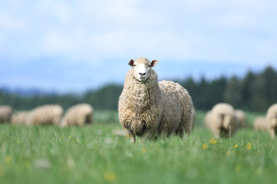 500mm f5.6 sample image of sheep