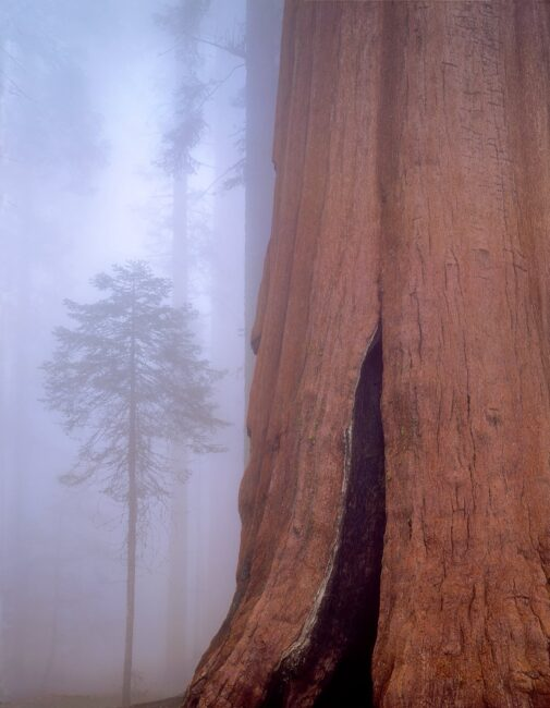 Giant sequoia and fir tree in the fog, Sequoia National Park, California, 1993_©Copyright © 2014 William Neill