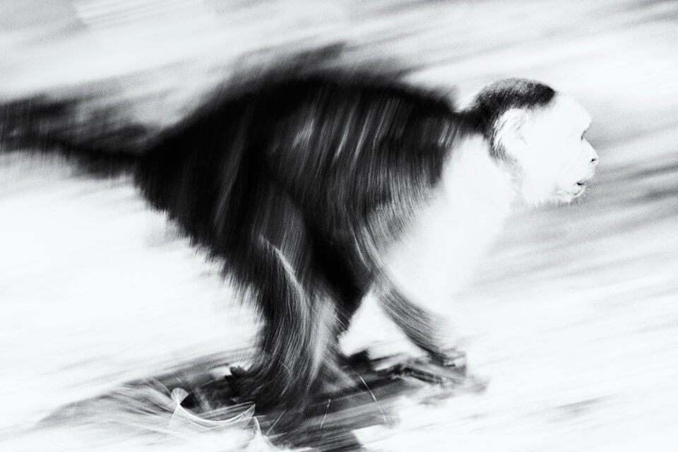Monkey with Motion Blur