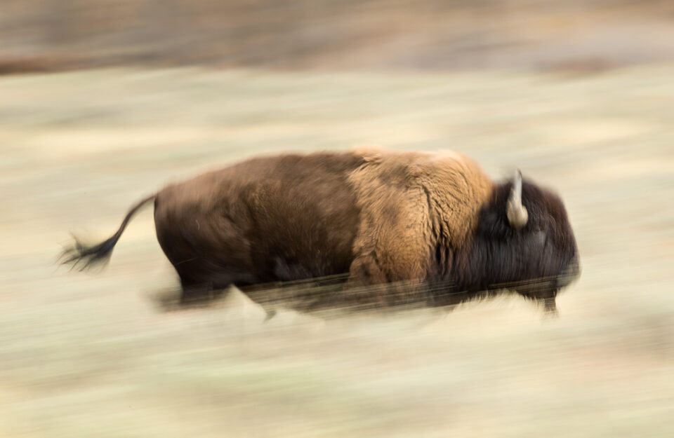 Photo of Bison with Panning