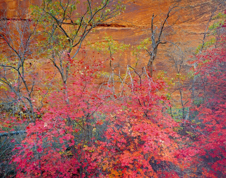 Red maples and slickrock, Zion National Park, Utah 1985_©