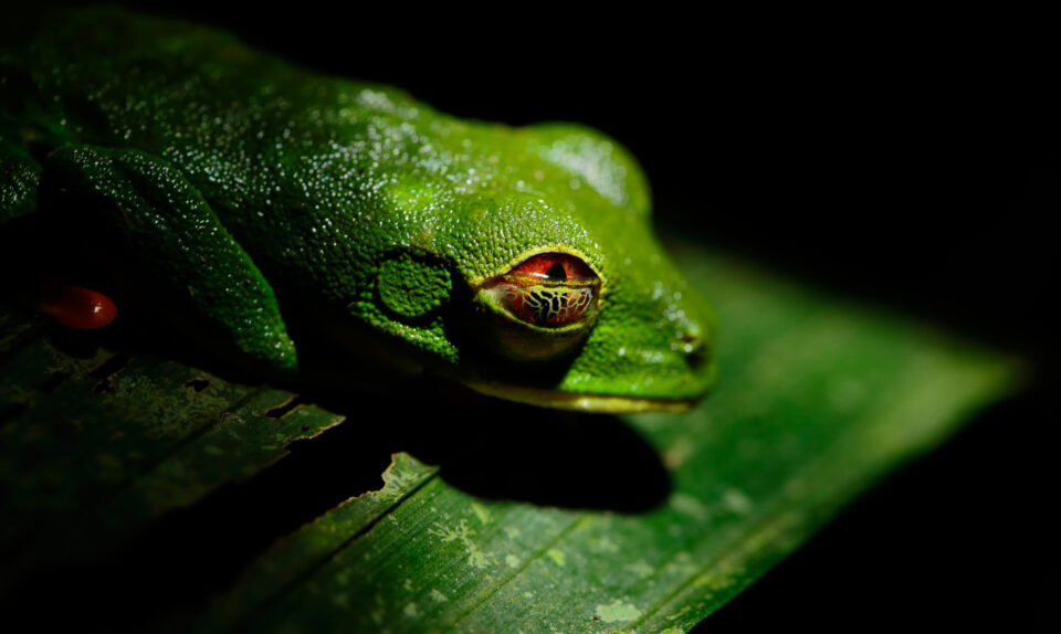 Tree Frog Sample Image