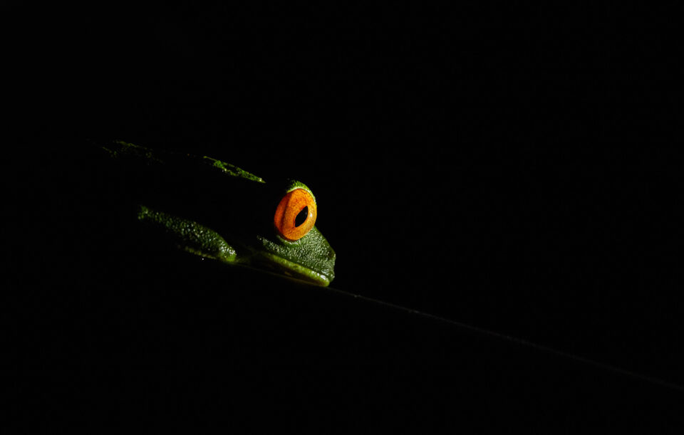 Tree Frog Sample Picture from Canon Macro L IS Lens