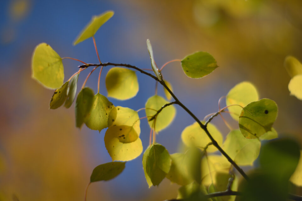 Tree Leaves with Noct-Nikkor