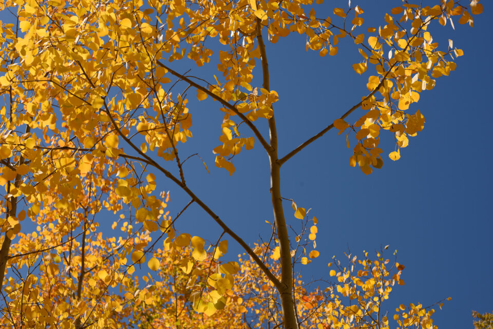 Yellow Aspen Leaves Against Blue Sky