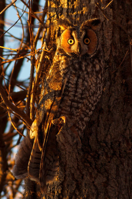 2. Long Eared Owl