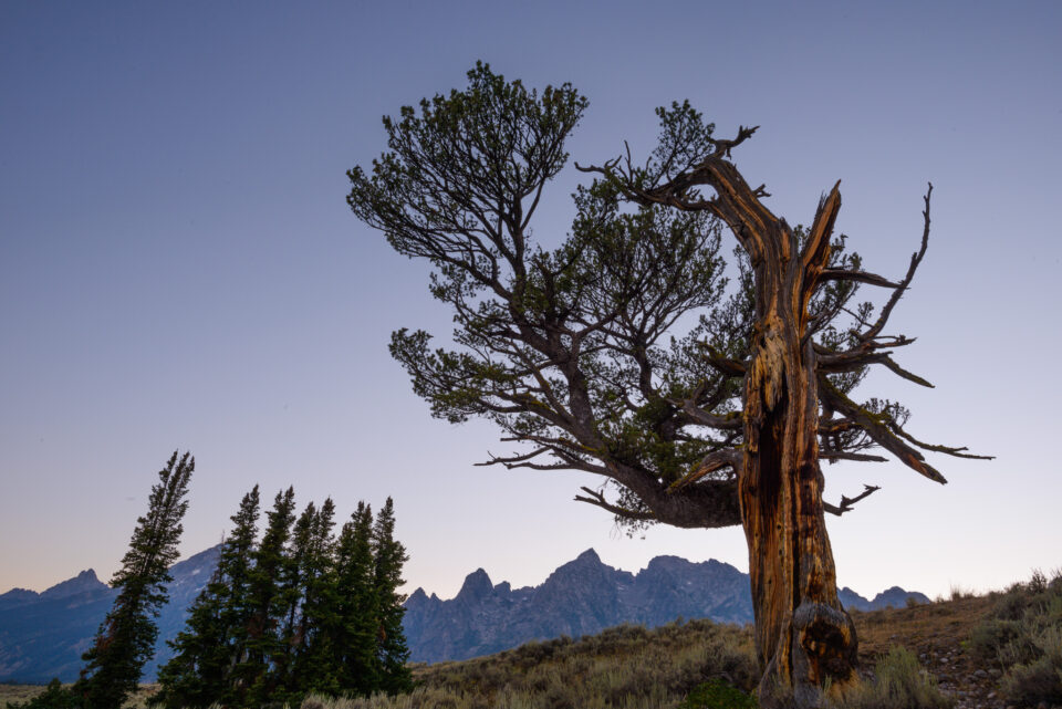 Patriarch Tree Grand Teton from Nearby Perspective