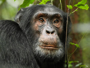 Chimpanzee Crop