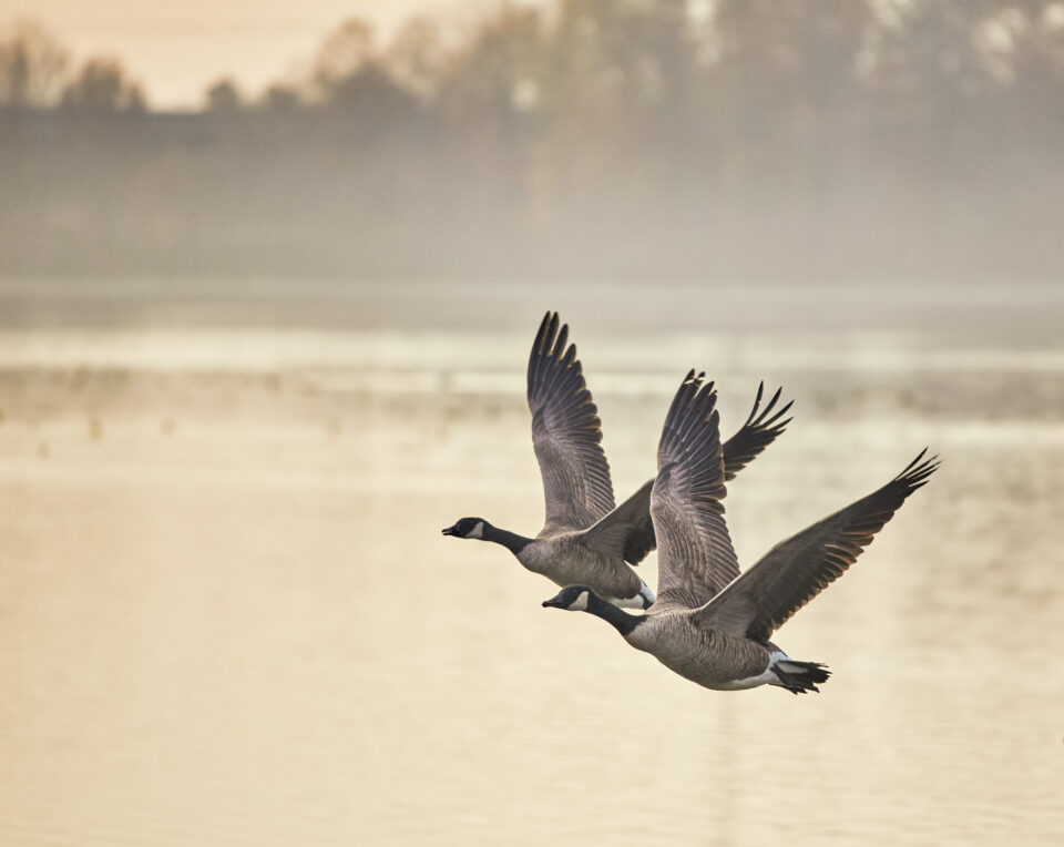 Canadian-Geese-Flight-Morning