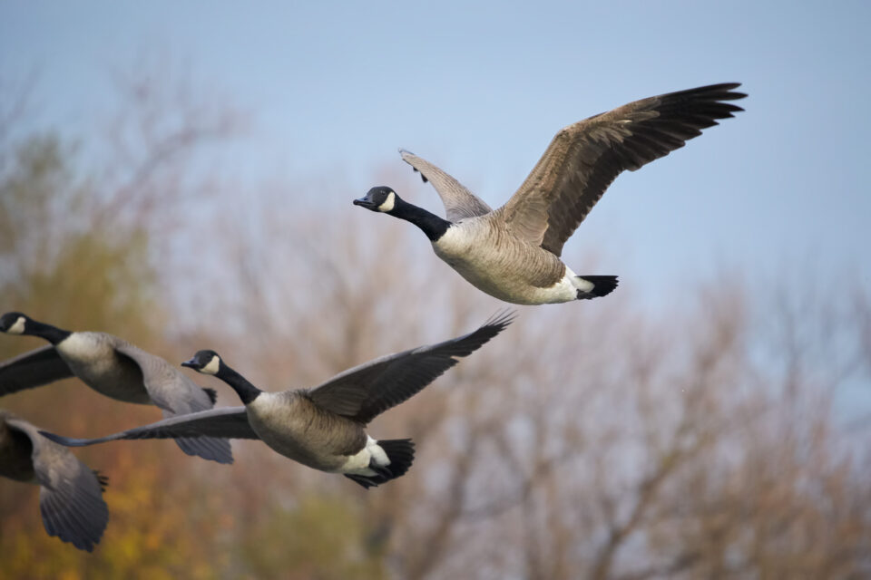 Canadian-Geese-in-Flight