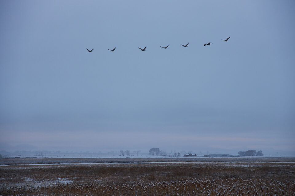 Canon RF 24-105mm f4 Sandhill Cranes Sample