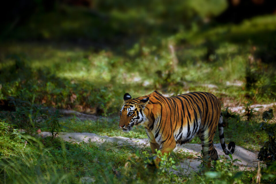 Tiger in the woods. We will use this image to show how to blur background in Photoshop.