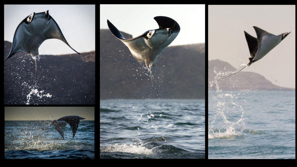 Collage of Devil Rays Jumping Out