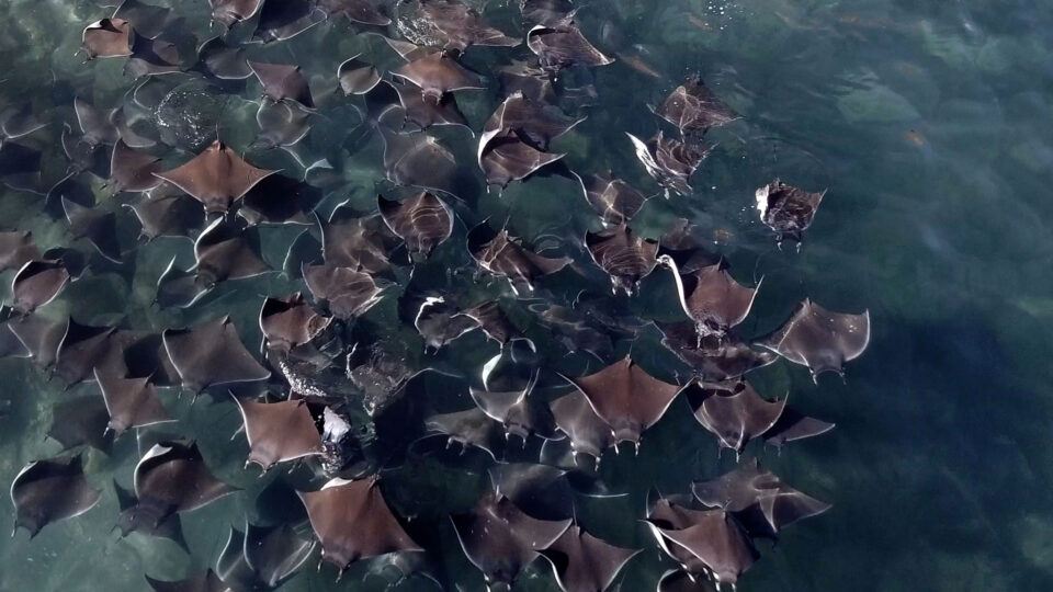 Devil Ray Group