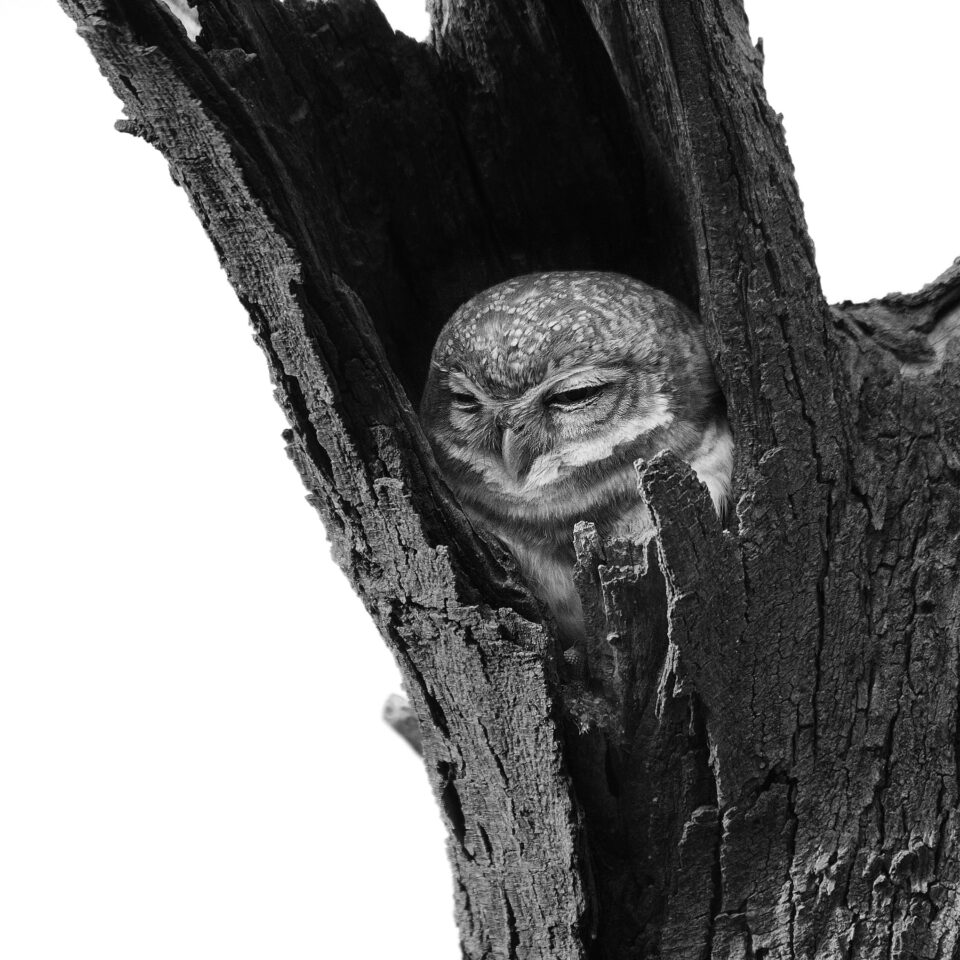 Owl inside branch converted to Black and White in Photoshop