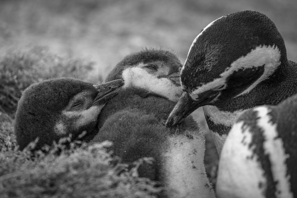 Humboldt penguins in Patagonia. Thousands of these penguins live near the sea straits from Ushuaia to Punta Arenas.