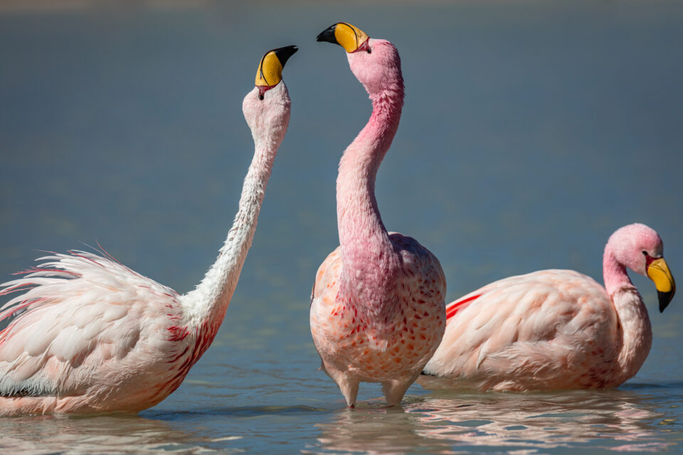 Laguna Hedionda Flamingos play in the water in Bolivia.