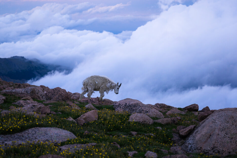 This photo of a goat on Mount Evans uses the longest possible shutter speed that doesn't introduce motion blur.