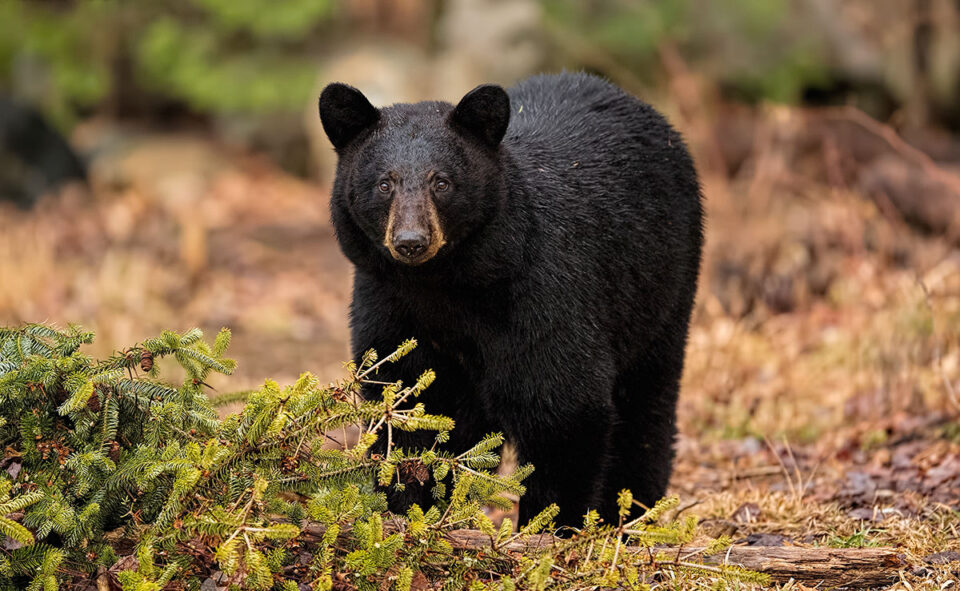 This photo of a female black bear is taken with the Nikon D5, the company's flagship camera for sports and wildlife photography.