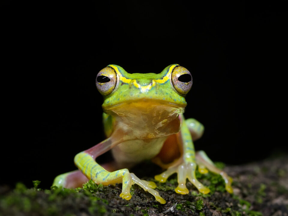 Small Tree Frog - Rhacophorus lateralis