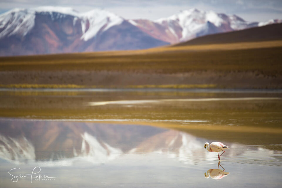 "Lone ""Volcano"" Flamingo – Bolivian Highlands"