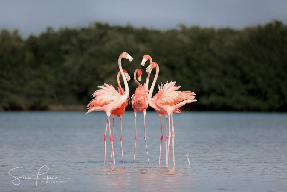 Male Flamingos in Meeting - Northern Yucatán – Río Lagartos, Mexico