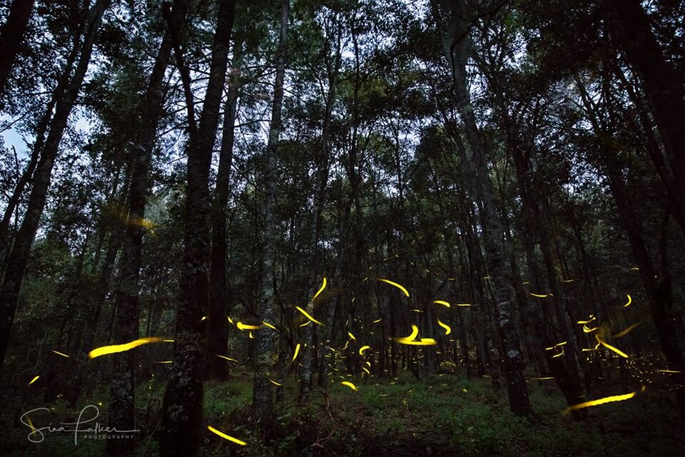 Fireflies – Tlaxcala, Mexico